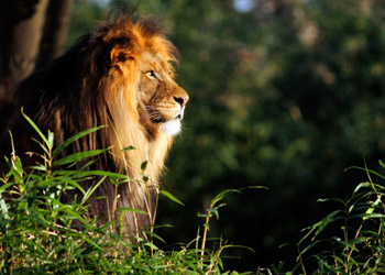 Lion lying in green gras while starring at sunset