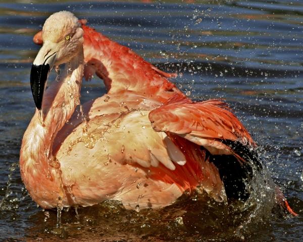 flamingo - 60512