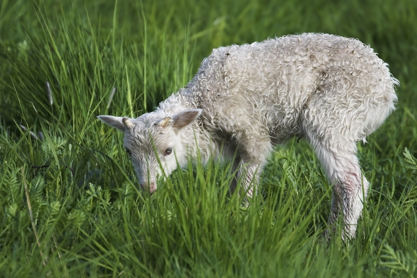 heidschnucken lamb