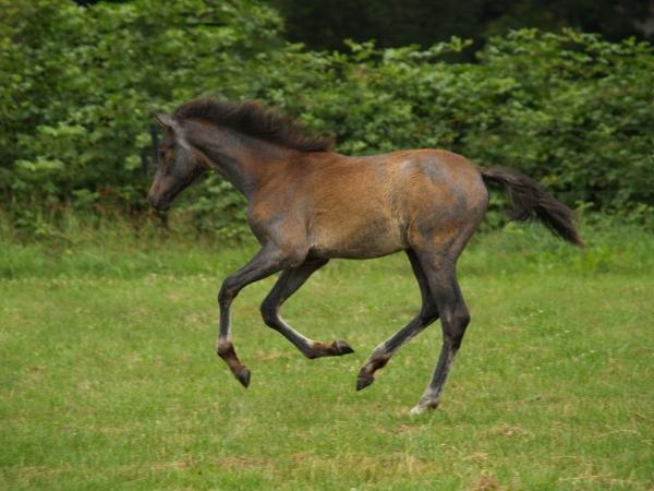 foal galloping