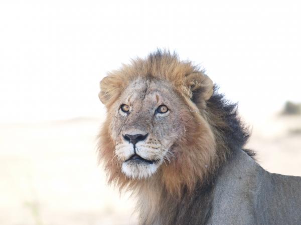 male lion in backlight