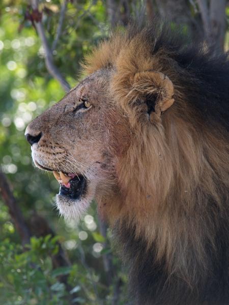 male lion halbportrait