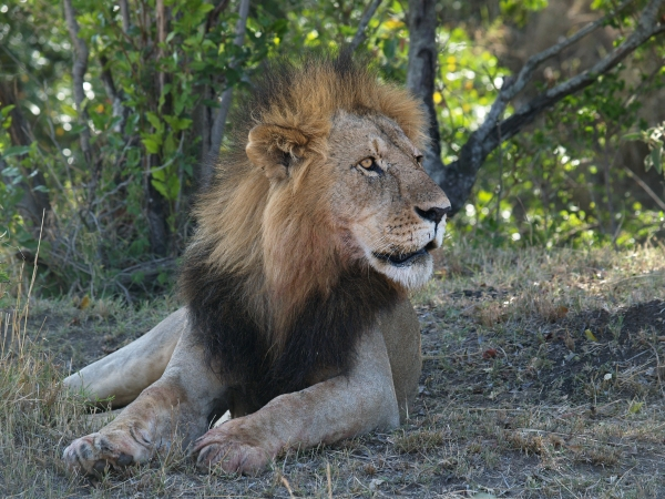 male lion with prey in its