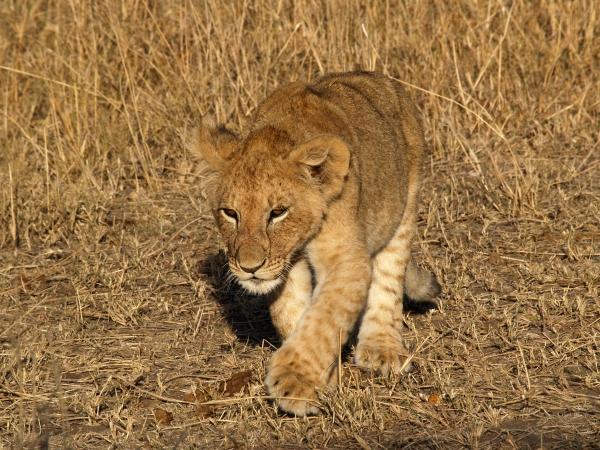 lion kid looking shadow