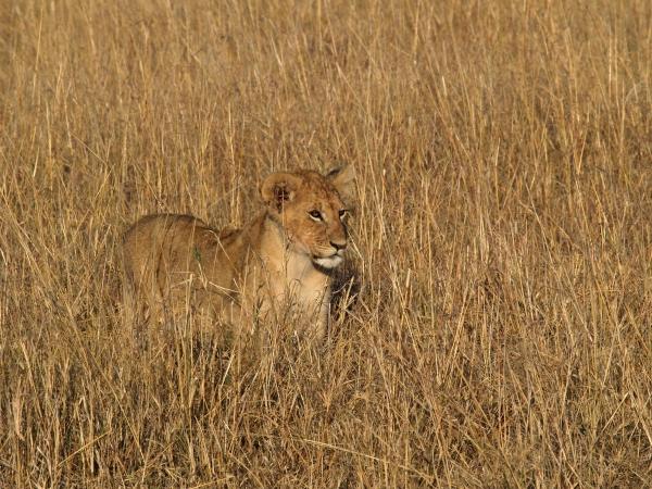 much grass little lion