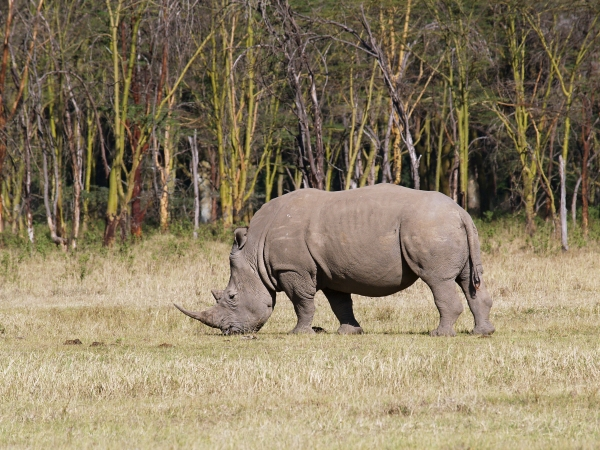 broad mouthed rhinoceros at dinner