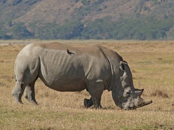 rhino with made hackers