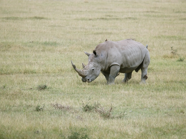 broad mouthed rhinoceros bull