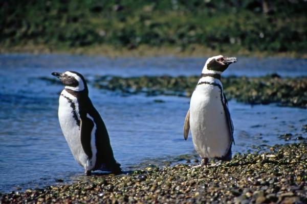 magellanic penguins couple
