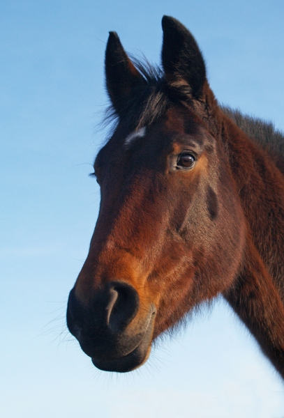 trotter mare in the evening sun