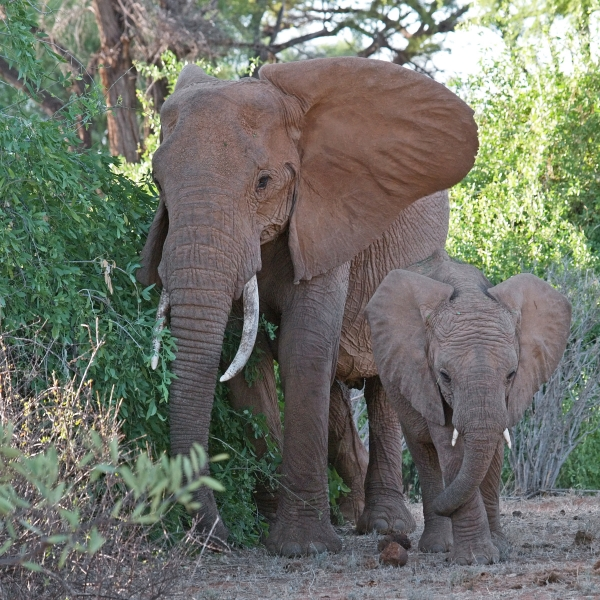 elephant mother with child