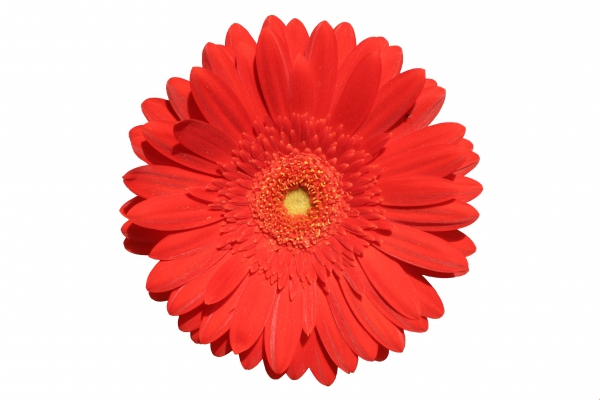blossom of a red gerbera isolated