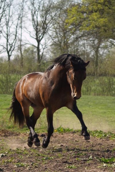 pony stallion on the trot
