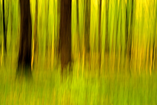 oak in the beech forest