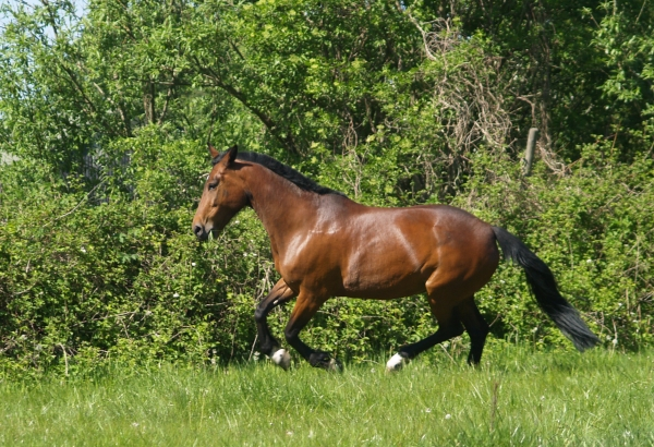 trotting mare galloping