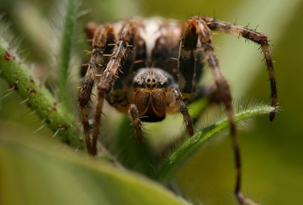 garden cross spider at eye level