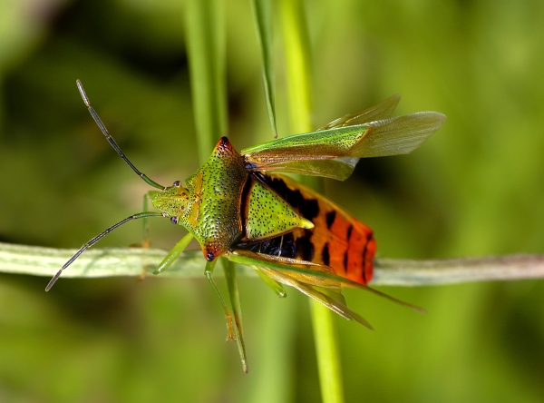 hawthorn shield bug prior to departure