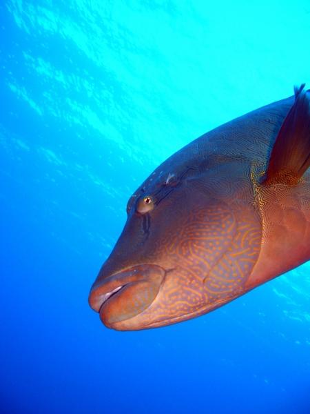 napoleonfish sunbathing