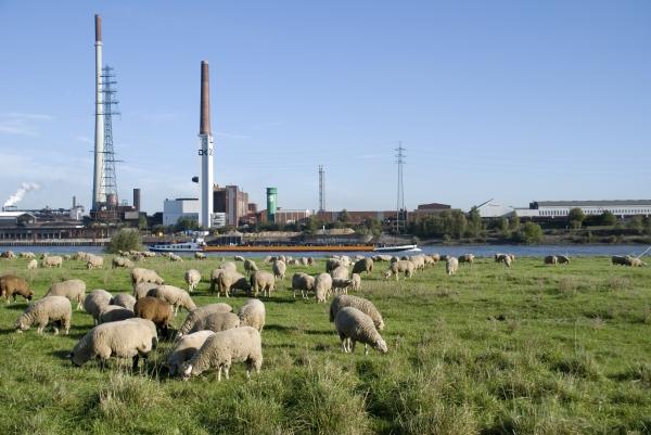 rhine sheep