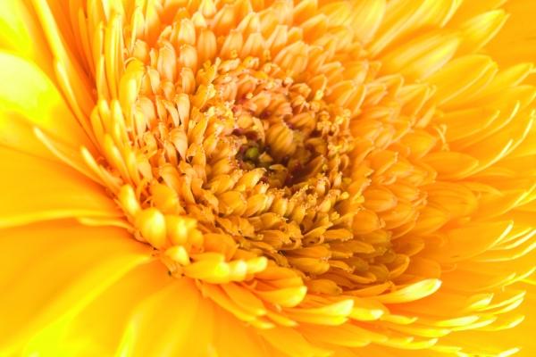 ragdoll sunflower background