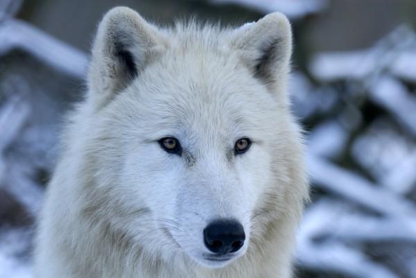 polar wolf portrait