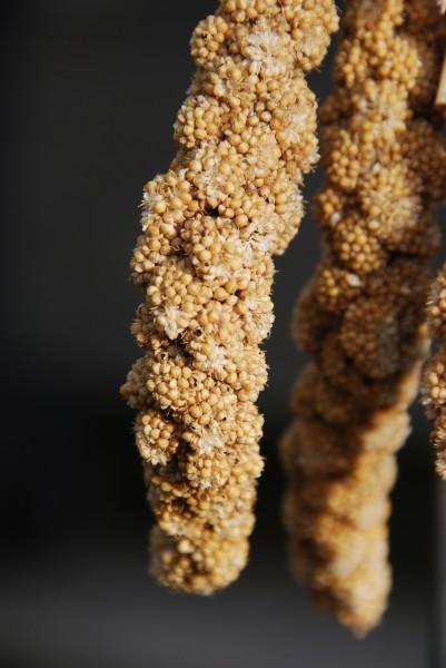 foxtail millet setaria italica