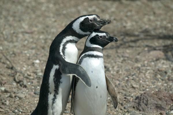 a couple of magellanic penguins