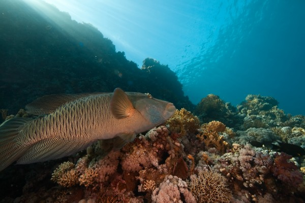 coral ocean and napoleon wrasse