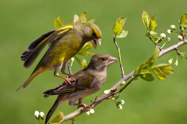 vogel dispute