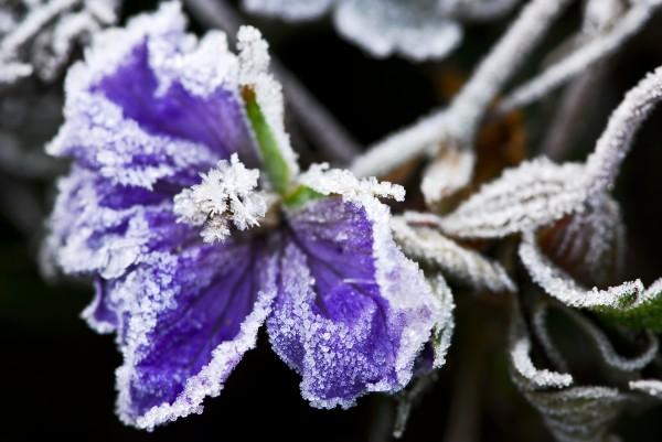 frosty flower in late fall