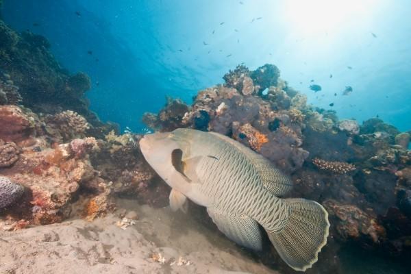 ocean sun and napoleonfish