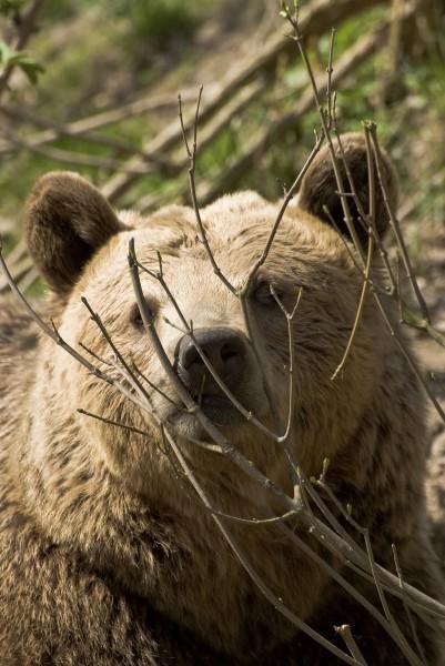 bear ursus arctos