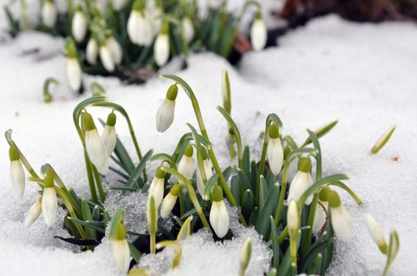 snowdrops in spring