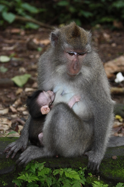bali monkey mother