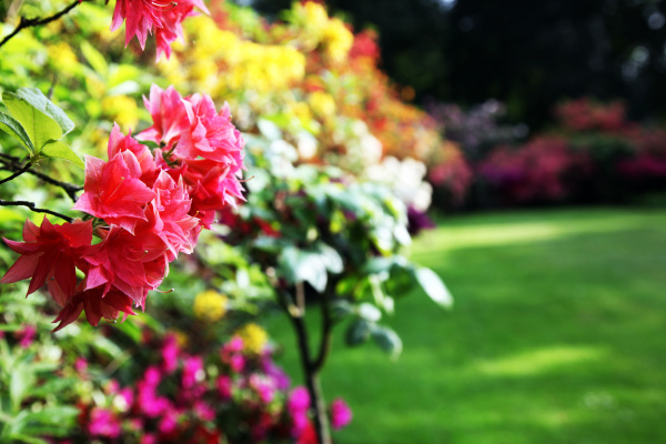 rhododendron close