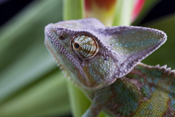 lizard families chameleon