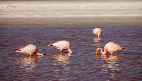 flamingos in the lagoon bolivia