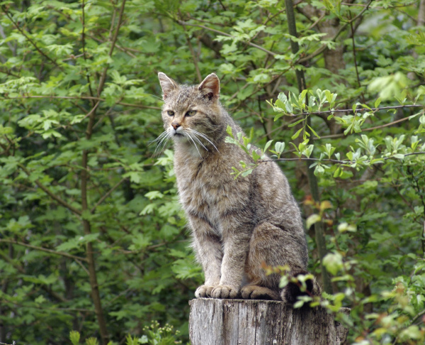 wildcat in natural ambiance