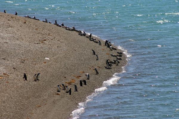 magellanic penguins valdes peninsula