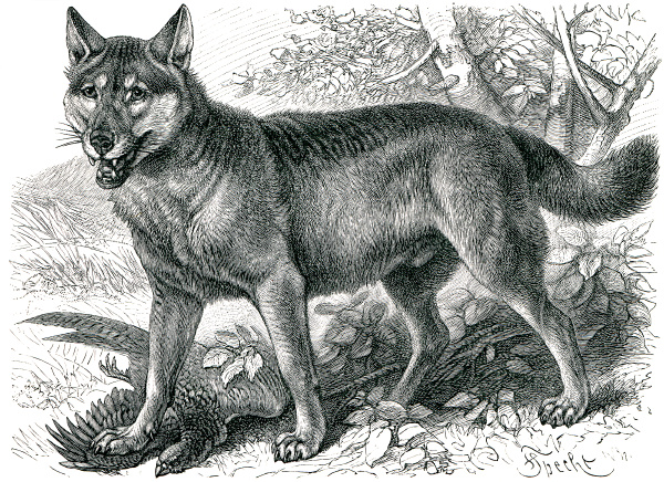 depicted gray wolf canis lupus