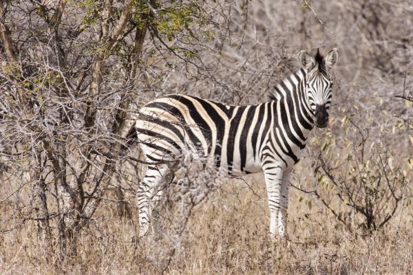 steppe zebra equus quagga