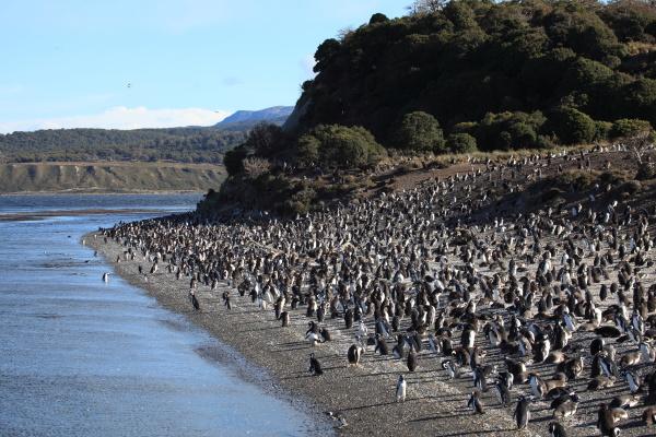 magellanic penguins tierradel