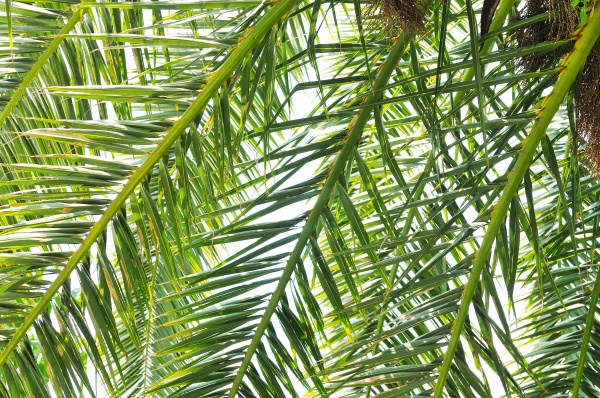palm branches background