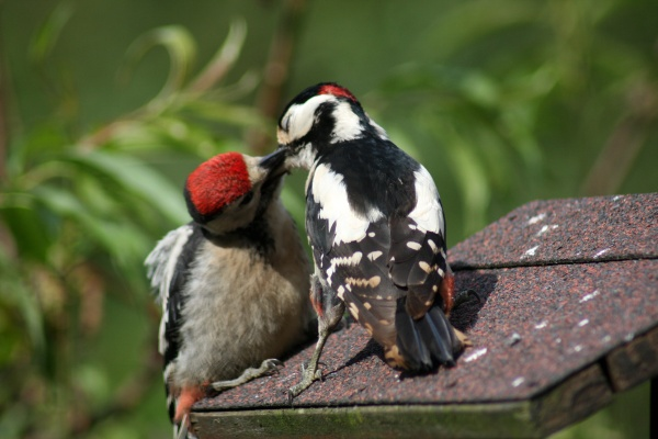 buntspecht when feeding his chick