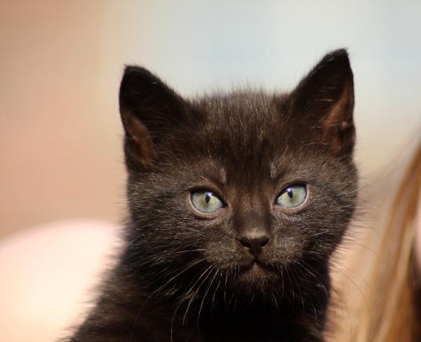 black cats puppy in closeup