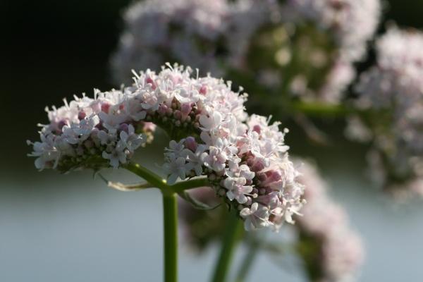 valerian in flower