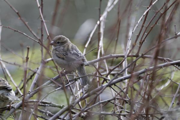 house sparrow sparrow