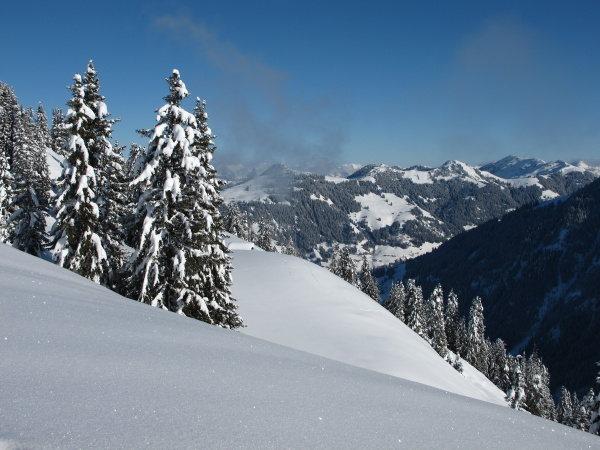 snow covered spruces in the bernese