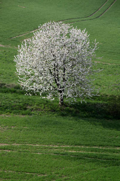cherry blossom in the weser uplands