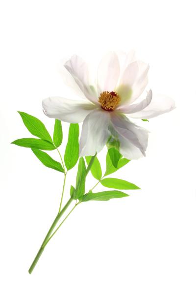 shrub peony paeonia suffruticosa